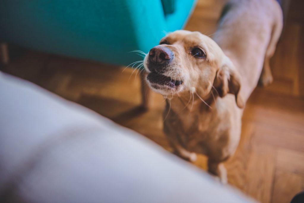 Canine Calamity