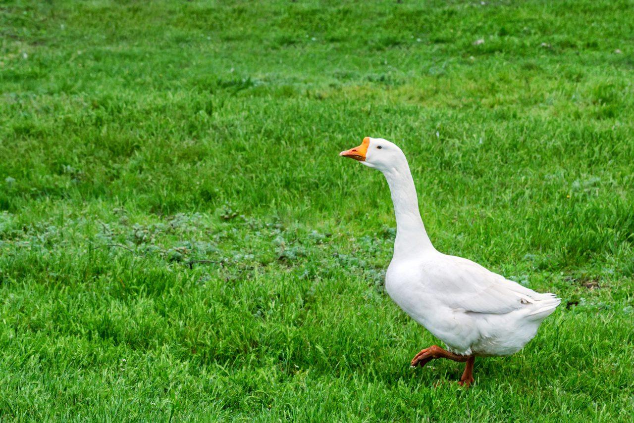 The Legendary Goose