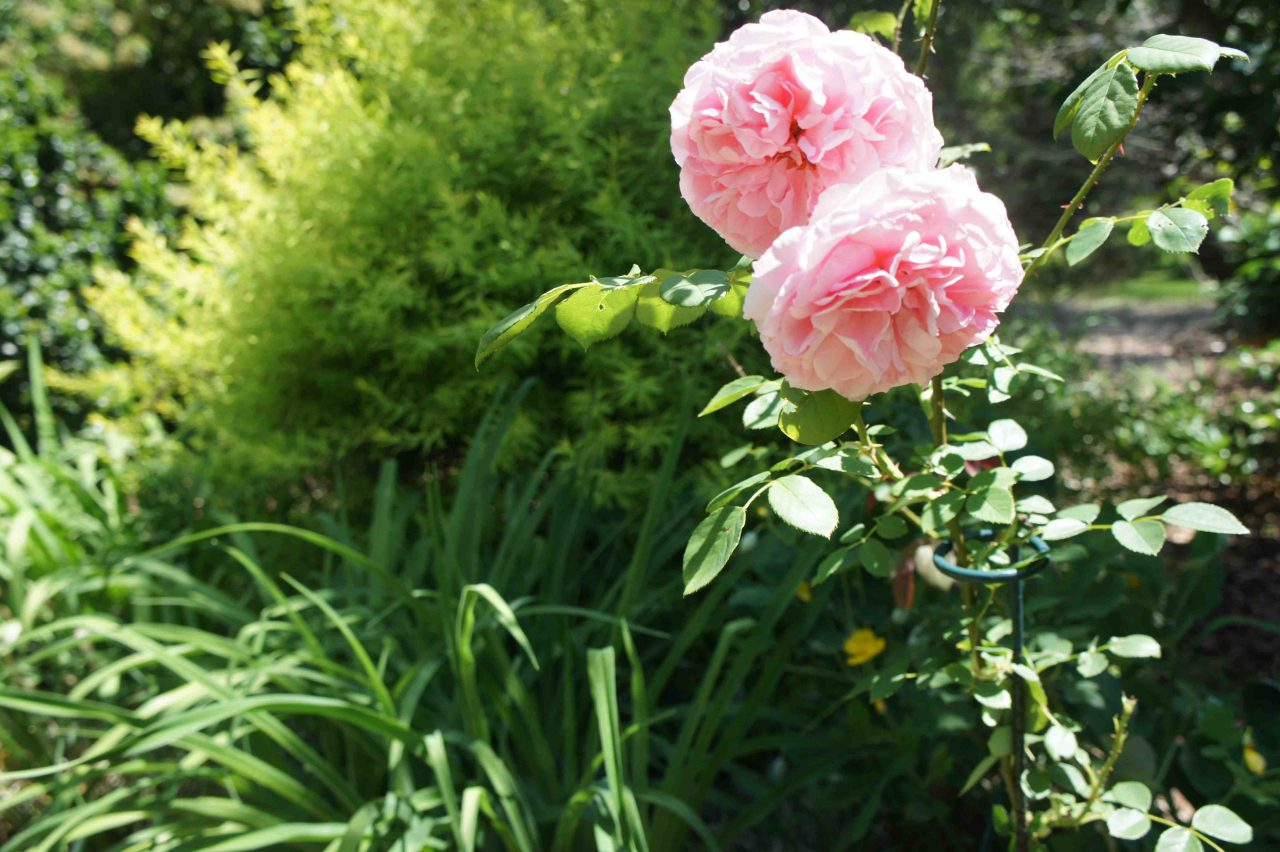 Growing Sustainable Roses