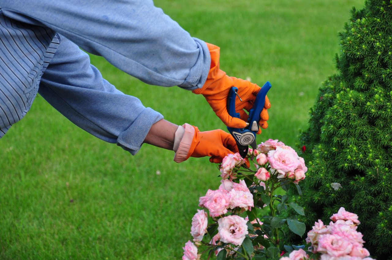 Pruning Roses: A Necessary Job