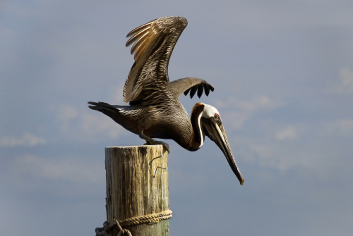 'Pelican Dreams': Feathered Friends