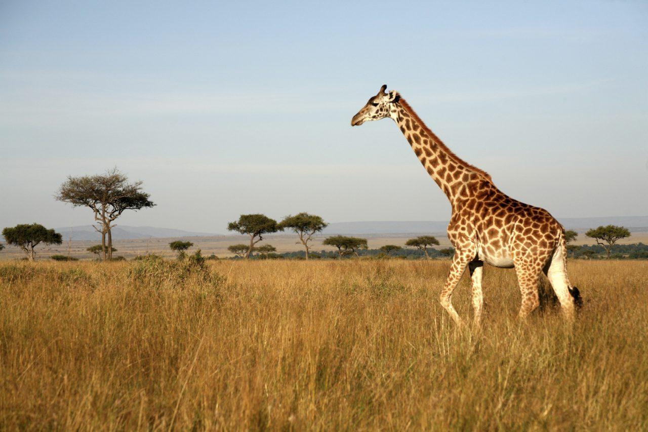 Georgie the Giraffe